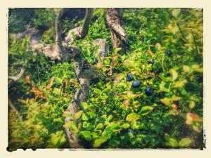 Na Rejvízu se borůvkám daří